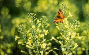 Картинка цветы, бабочка, желтые, боке, рапс