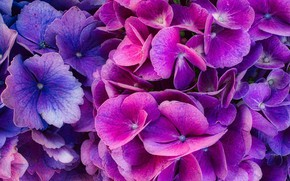 Картинка Природа, Цветок, гортензия, Флора, Цвести Летом