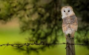 Картинка сова, птица, листва, забор, проволока, столб, сипуха