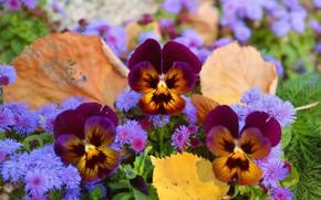 Картинка Flowers, Анютины глазки, Pansies