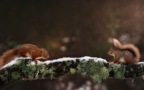 Картинка зима, снег, две, ветка, белка, пара, парочка, белки