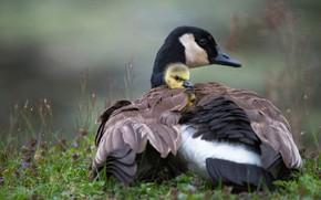 Картинка птицы, птица, поляна, весна, малыш, утёнок, утка, птенец, гусь, утенок, гуси, канадский, гусёнок, птенчик, гусенок, …