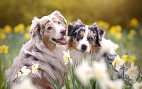 Картинка животные, собаки, цветы, природа, весна, пара, нарциссы, аусси