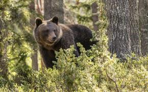 Картинка лес, деревья, медведь, кусты, Топтыгин