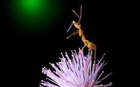 Картинка поза, макро, стойка, лепесток, рыжий, цветок, розовый, стоит, черный фон, муравей, насекомое