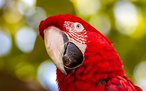 Картинка взгляд, красный, портрет, попугай, боке, ара