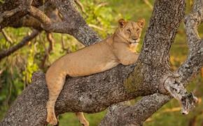 Картинка дерево, отдых, львица, дикая кошка, на дереве