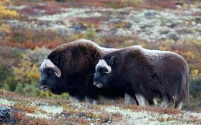 Картинка природа, пара, два, быки, бык, овцебык, мускусный бык