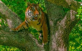 Картинка кошка, тигр, дерево, хищник