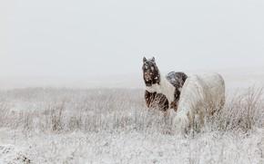 Картинка зима, поле, снег, природа, конь, лошадь, две, кони, лошади, пастбище, пара, пони, снегопад, две лошади, …