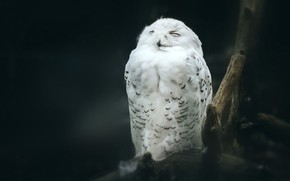 Картинка поза, темнота, темный фон, сова, птица, белая, полумрак, сидит, сук, полярная, закрытые глаза, арктическая