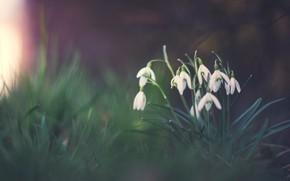 Картинка темный фон, поляна, весна, подснежники