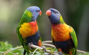 Картинка птицы, фон, пара, попугаи, Fleur Walton
