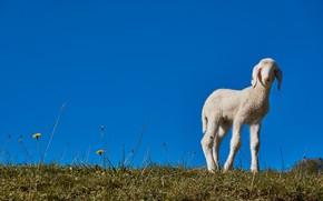 Картинка небо, луг, овца