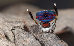 Картинка глаза, макро, синий, природа, поза, фон, дерево, узор, пауки, танец, лапки, паук, мохнатый, окрас, кора, ...