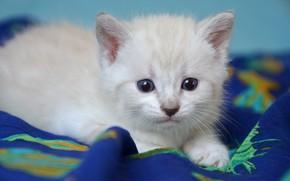 Картинка кошка, белый, взгляд, котенок, портрет, малыш, покрывало, мордочка, ткань, лежит, котёнок, голубые глаза, голубой фон, …