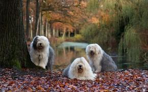 Картинка осень, собаки, природа