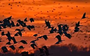 Картинка птицы, стая, силуэт, канадские журавли