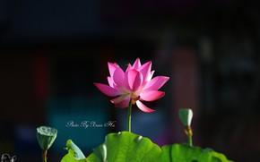 Картинка фон, весна, лотос