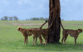 Картинка дерево, дикая природа, гепарды, Territorial scope