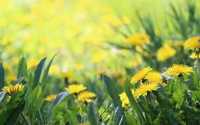Картинка фон, весна, травка, одуванчики