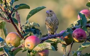 Картинка фон, птица, яблоки