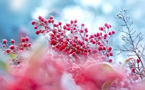 Картинка зима, иней, осень, ягоды, куст, размытие, ветка, плоды, розовые, голубой фон, боке