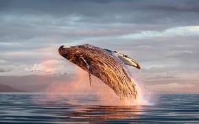 Картинка Аляска, млекопитающее, горбатый кит