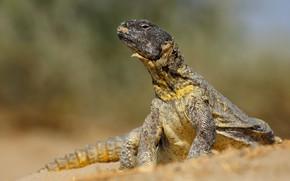 Картинка поза, фон, ящерица, игуана, дикая природа, рептилия