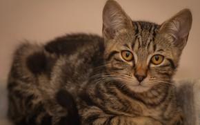 Картинка кошка, кот, взгляд, поза, котенок, фон, лежит, котёнок, мордашка, серый полосатый