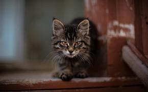 Картинка мордочка, ступенька, мейн-кун, полосатый котёнок