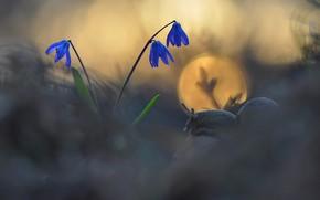 Картинка цветок, макро, природа, улитка, первоцвет, боке, Макеев Алексей