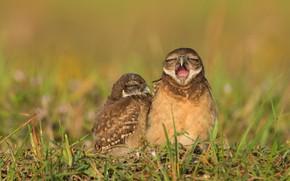 Картинка трава, птицы, клюв, совы, парочка, сыч, сычи, две птицы, сычики