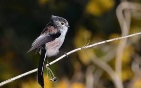 Картинка фон, птица, ветка, боке, синица, длиннохвостая синица, Cambridgeshire, Long-tailed Tit, Ouse Fen
