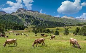 Картинка зелень, горы, коровы, Альпы, пастбище, стадо