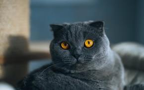 Картинка кошка, кот, взгляд, морда, поза, серый, портрет, лежит, британский, желтые глаза