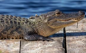 Картинка взгляд, морда, поза, берег, доски, крокодил, лежит, профиль, мостки, водоем, аллигатор, рептилия, настил
