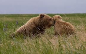 Картинка поле, трава, взгляд, морда, природа, поза, поляна, нежность, малыш, медведь, медведи, мишка, пара, медвежонок, ласка, …