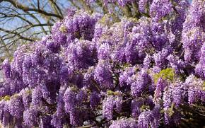 Картинка цветы, весна, цветение, много, сиреневые, глициния, вистерия