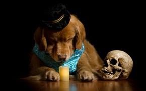 Картинка собака, бедный йорик, Шекспир, морда, композиция, нарядный, жилет, череп, портрет, шляпа, ретривер, пёс, золотистый, свеча, …