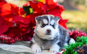 Картинка красный, поза, фон, собака, малыш, щенок, ткань, лежит, мишура, мордашка, хаски, сибирский хаски