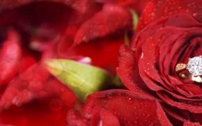 Картинка цветок, роза, кольцо, красная