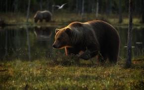 Картинка лес, трава, деревья, озеро, отражение, птица, берег, поляна, медведь, медведи, пара, прогулка, два, водоем, два …