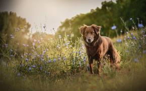 Картинка поле, лето, цветы, природа, собака, луг, прогулка, бордер-колли