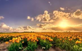 Картинка поле, небо, солнце, облака, свет, закат, цветы, красота, весна, вечер, желтые, тюльпаны, грядки, Нидерланды, бутоны, …