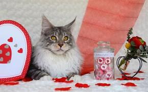 Картинка кошка, кот, взгляд, морда, цветы, серый, фон, праздник, коробка, сердце, портрет, розы, букет, лепестки, конфеты, …