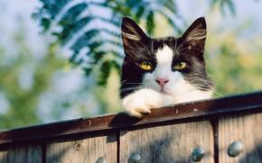 Обои кошка, кот, морда, листья, природа, фон, черно-белый, доски, забор, желтые глаза