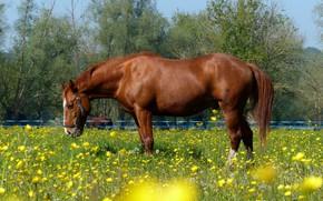 Картинка цветы, лошадь, луг