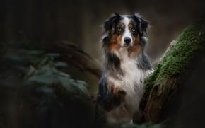 Картинка взгляд, мох, портрет, собака, боке, Австралийская овчарка, Аусси