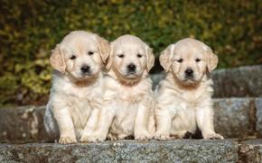 Картинка собаки, фон, щенки, щенок, ступени, белые, малыши, трио, лабрадор, собачки, боке, ретривер, сидят, щенята, мордашки, …